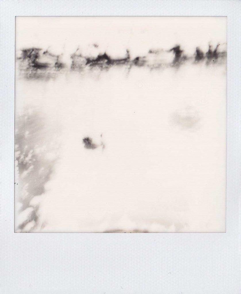 Cisne negro en el Bidasoa. Foto de Ainara LeGardon